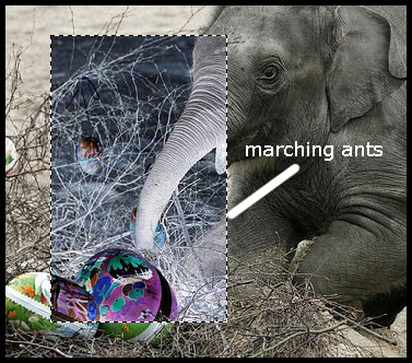 Elephant Marching Ants